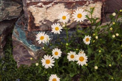 Amazing Daisies