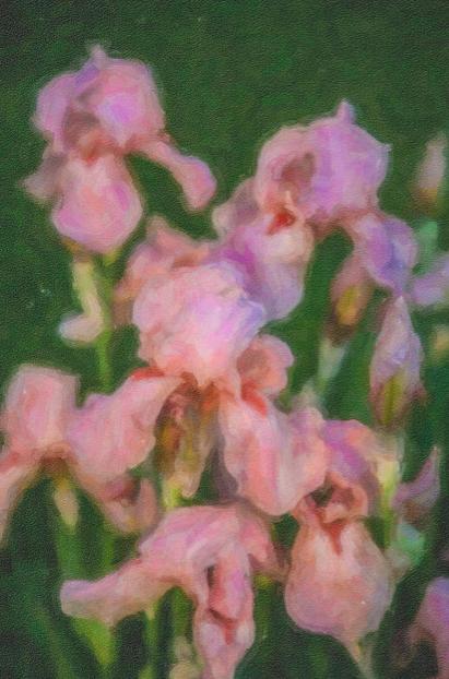 Pink Iris Family