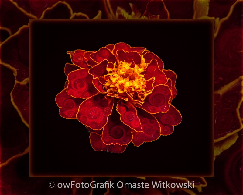 French Marigold Abstract Flower Art