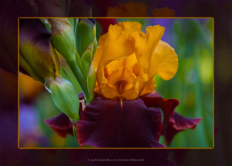 A Golden Iris Singing Natures Joyful Tune