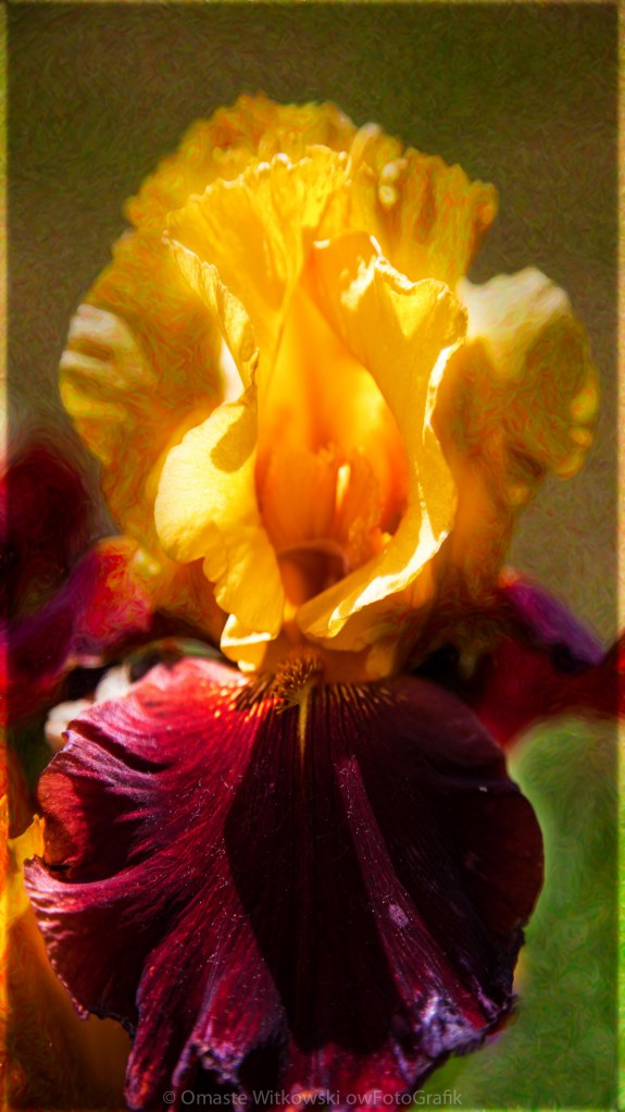 Bearded Beauty Golden Iris Garden Art by Omaste Witkowski owFotoGrafik.com