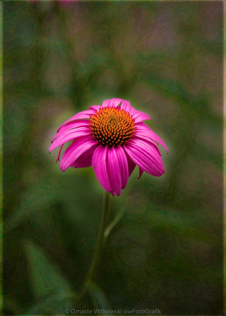 Pink Echinacea Digital Flower Photo.Painting Composite Artwork by Omaste Witkowksi owFotoGrafik.com