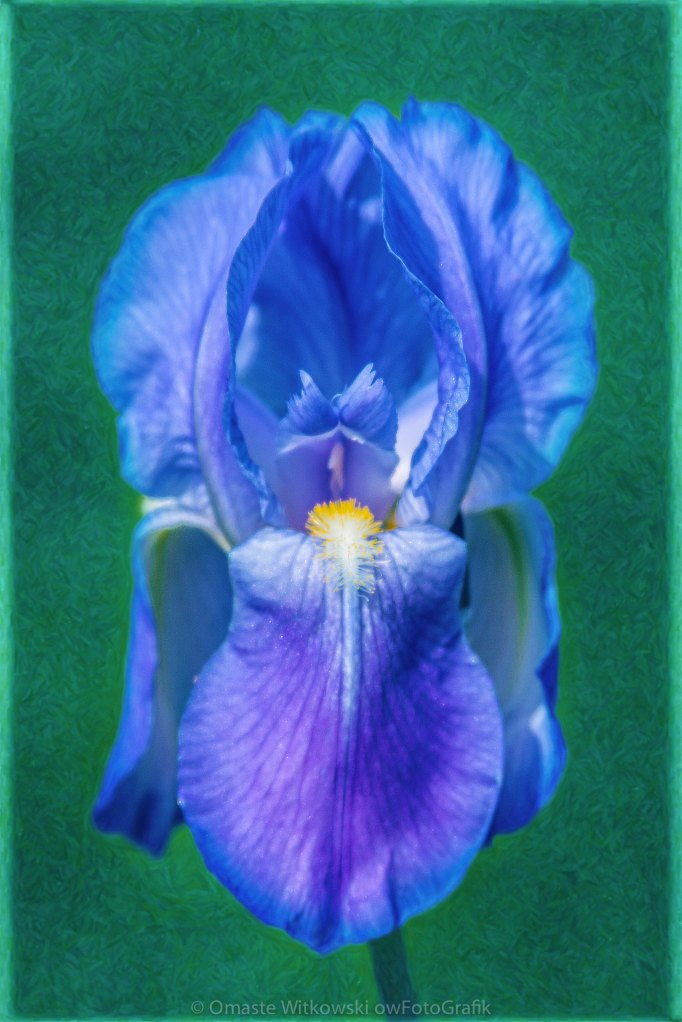 Beckoning Blue Iris Abstract Garden Art by Omaste Witkowski owFotoGrafik.com