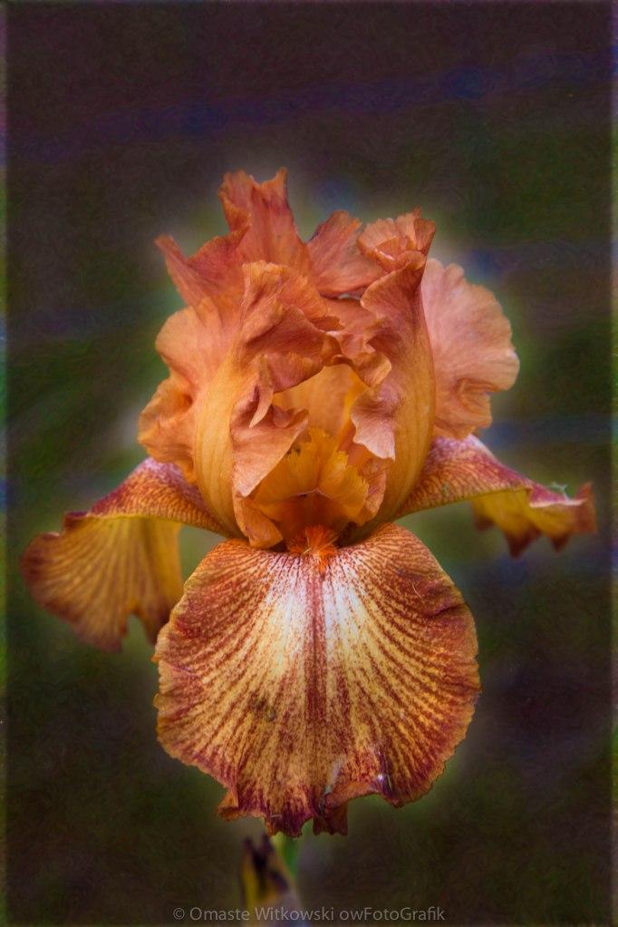 Peachy Perfect Iris Garden Art by Omaste Witkowski owFotoGrafik.com