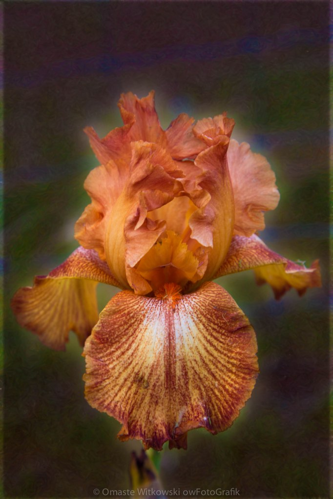 Peachy Perfect Iris Garden Art by Omaste Witkowski owFotoGrafik.com
