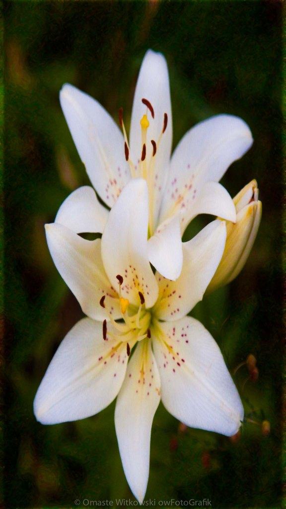 Wistful White Wedded Bliss Romantic Art By Omaste Witkowski owFotoGrafik.com