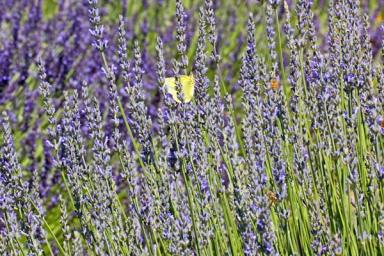 lavender_G1SkZPYd